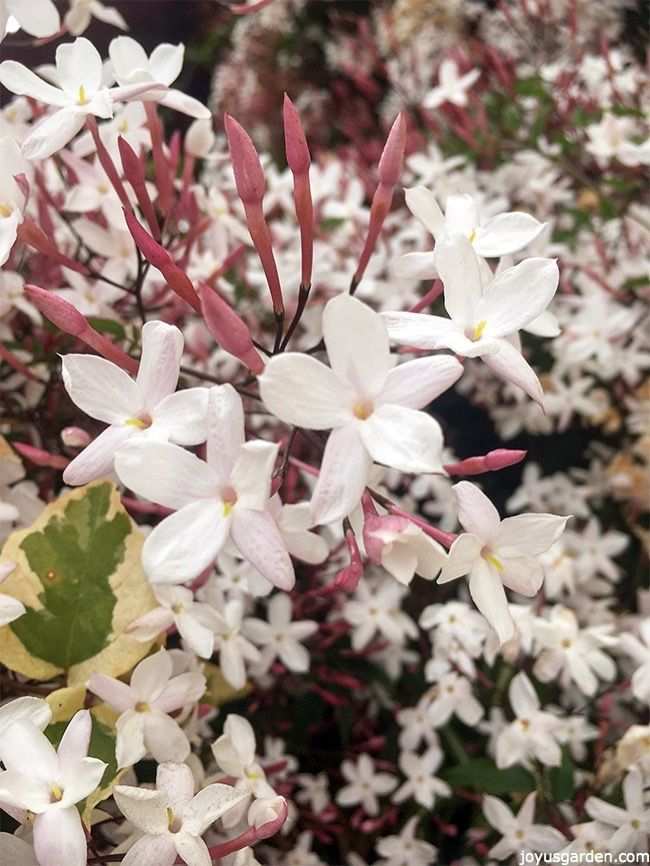 This is all about Growing Pink Jasmine Vine. Delightfully scented flowers in starry clusters cover the plant in late winter & spring. A video guides you through.