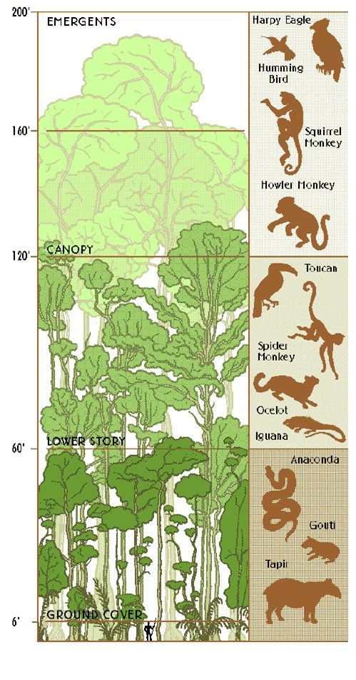 Rainforest-Strata-and-Animals.png :: if anacondas are in the first tier I'm going straight to the top.  Smart monkeys.