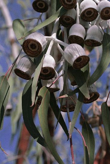 Silver Princess Gum Eucalyptus - Jennifer & Paul Cave