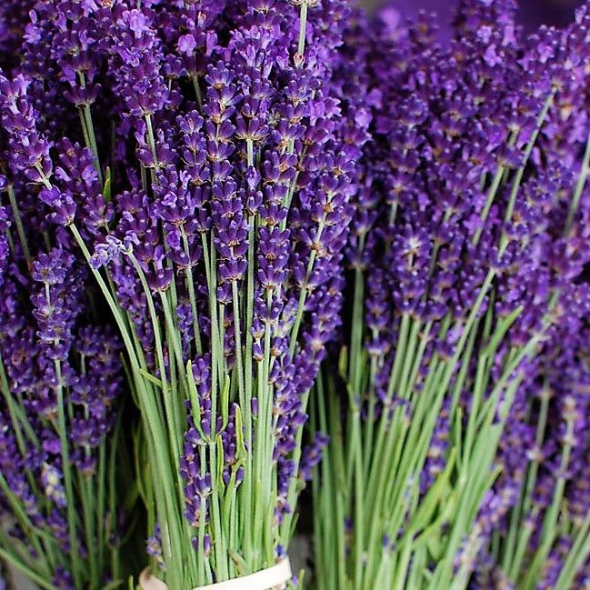 Fresh Lavender Wholesale Flowers Diy Wedding Flowers Lavender Flowers Lavender Garden Lavender Plant