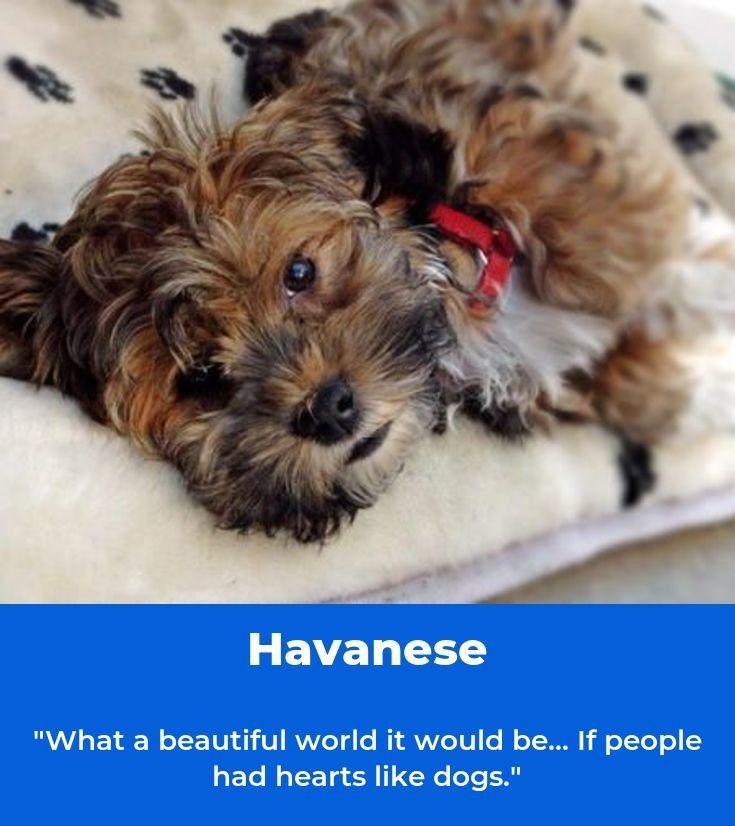Havaneser Havanese Dogs Havaneseofiran Havanese Havanese Dogs Dogs