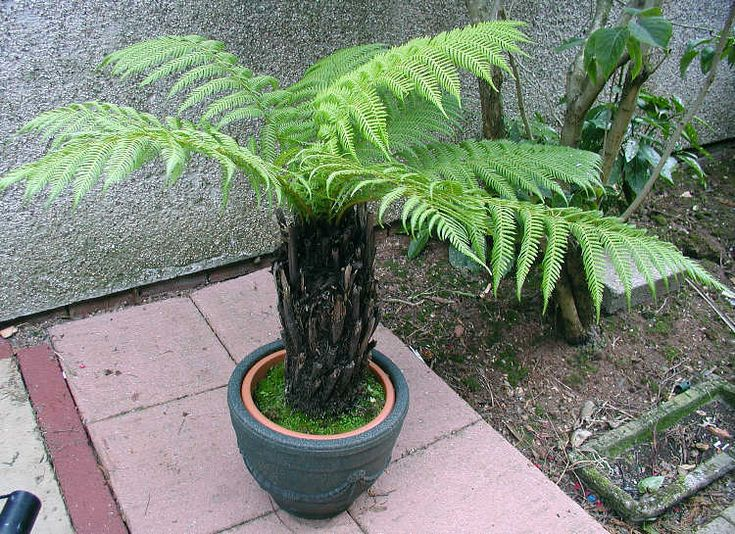 Dicksonia antarctica, Tasmanian tree fern :: Buy NURSERY GROWN ONLY, anything else is Suspect: Harvesting: Large D. antarctica for sale come from old growth Tasmanian forests, and may be hundreds of years old. The logging practices by the company Gunns, who effectively have a state monopoly on logging and make these plants available, have been criticized by green groups for several decades.