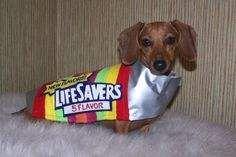 #dachshund #halloween #costume