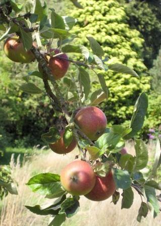 Apples in the garden, Æblegaarden B&B, Langeland, Denmark, www.aeblegaarden.dk