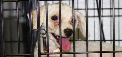 Follow up on the Sarasota County Florida puppy mill bust. Over 250 dogs were removed and rescued from a life of neglect.