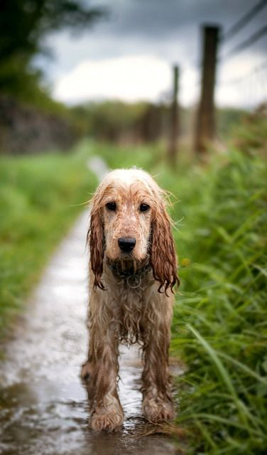 Coming in from a Spring rain.  He has been on the hunt for rabbit.  LOL