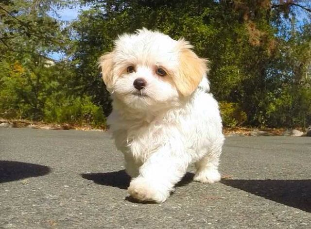 This Malshi Is So Cute Maltese Shih Tuz Mix Very Good With
