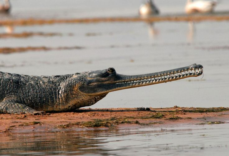 17 best ideas about crocodile eating on pinterest for What do wild fish eat