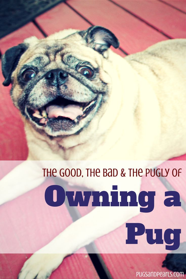 A list of pros and cons of owning a pug, plus lots of cute pug pictures!