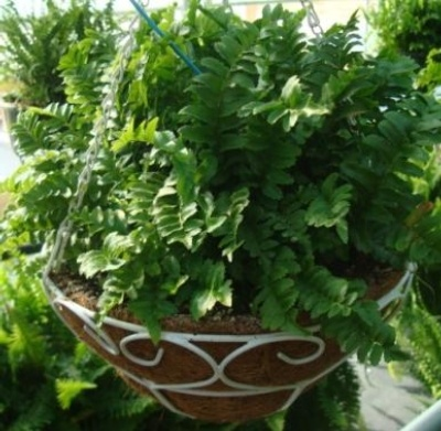 10 best non poisonous indoor plants images on pinterest for Non toxic ferns