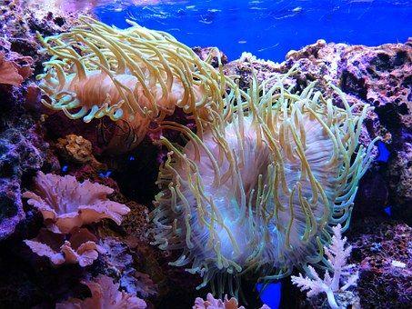 Mořské Sasanky, Akvárium