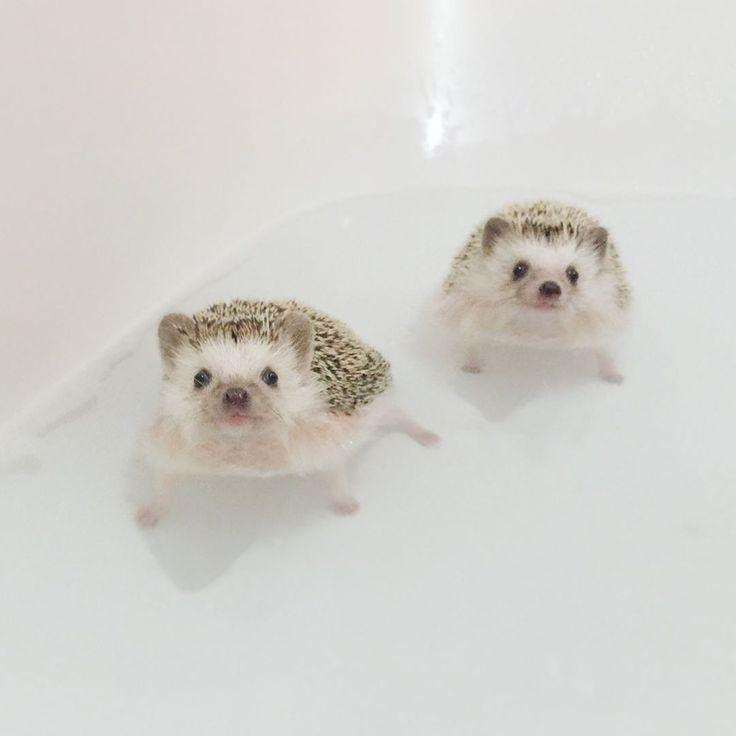 """16.4k Likes, 180 Comments - あずき/azuki (@hedgehog_azuki) on Instagram: """"Bath time 今日は2人を連れて公園に行って来たので、ノルバサンシャンプー入りのお風呂♨️に入れてダニ予防し、フケ対策でオートミール煮出したとろみ液でゆすいで保湿。 .…"""""""
