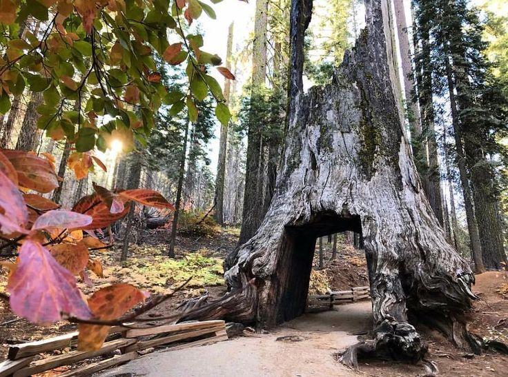 """214 Likes, 3 Comments - Tuolumne County (@traveltuolumnecounty) on Instagram: """"Find your fall escape in Yosemite's Tuolumne Grove. 📷: @zuzannacongalton_ot Tap the link in our bio…"""""""