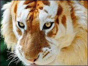 A Rare Golden Tiger, Strawberry Tiger or Golden Tabby Tiger. | See More Pictures | #SeeMorePictures