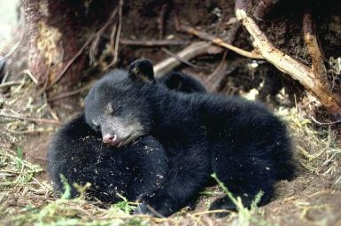Bear.org -- excellent online resource on the American black bear