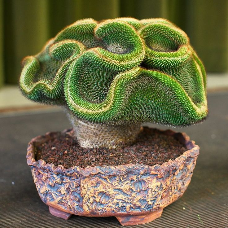 Keith Kitoi Taylor photo of Ron Harris' Mammilaria mystax, taken at the San Jose Cactus and Succulent Show & Sale, 2012. Austrocylindropuntia Crested
