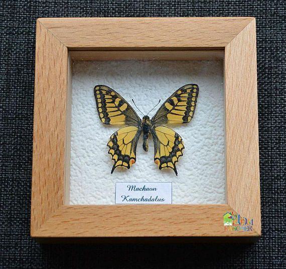 Papilio Machaon Kamchadalus Real Butterfly in frame from