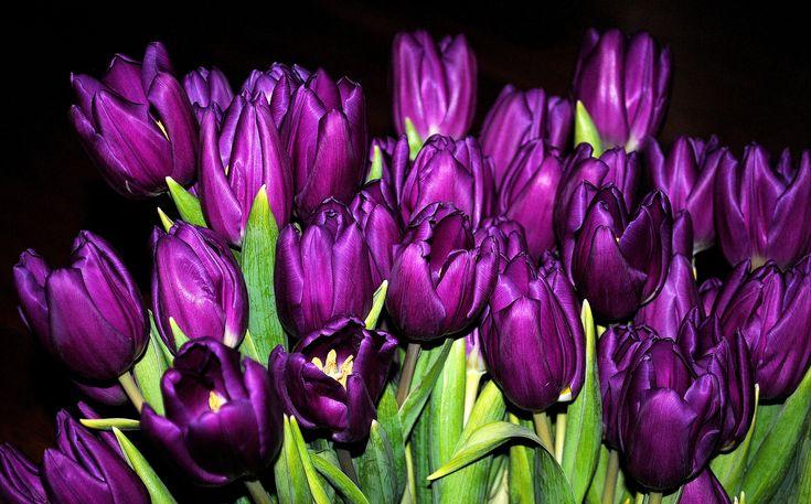 Скачать обои бутоны, тюльпаны, букет, фиолетовые, раздел цветы в разрешении 2048x1273