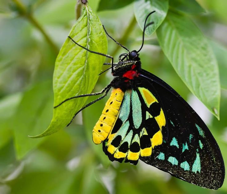 Cairn's Birdwing Butterfly (Ornithoptera euphorion) endemic to Northeast Australia