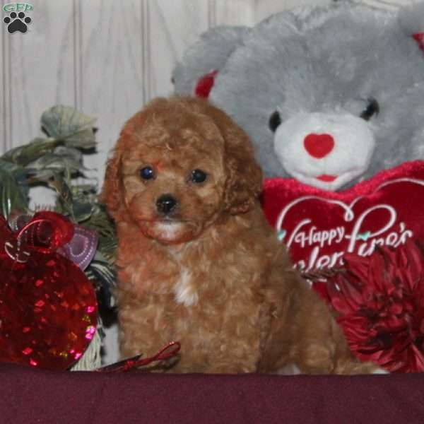 Jewel Cavapoo Puppy For Sale In Pennsylvania In 2020 Cavapoo Puppies Cavapoo Puppies For Sale Puppies