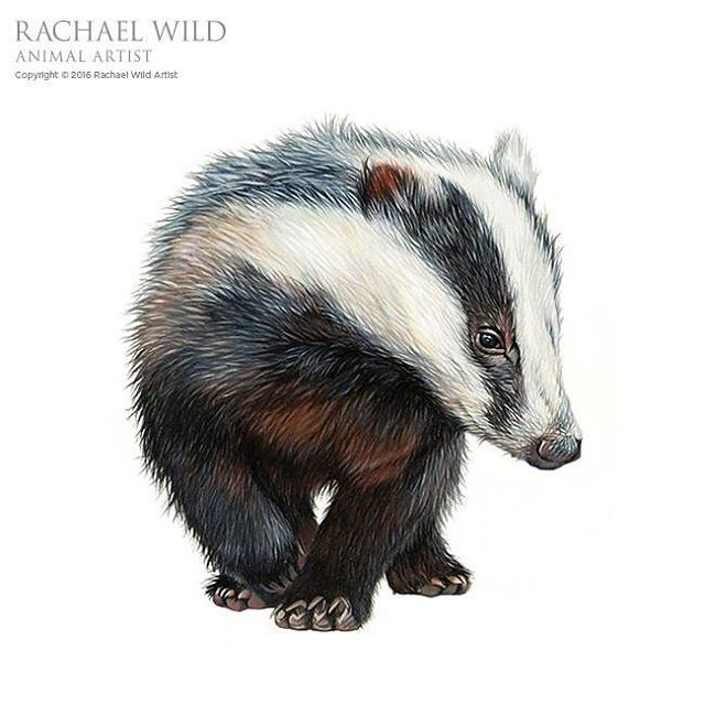 Humbug the #badger is al complete. Hope you like her #carandachepencils #pencildrawing #britishwildlife #drawing