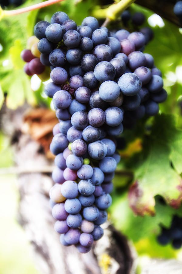 Grape Cluster Photograph by Georgia Fowler. Europe photography wall art prints. Click through now to see more details & options in my online store! Use code JZVMNM for $5 off!!