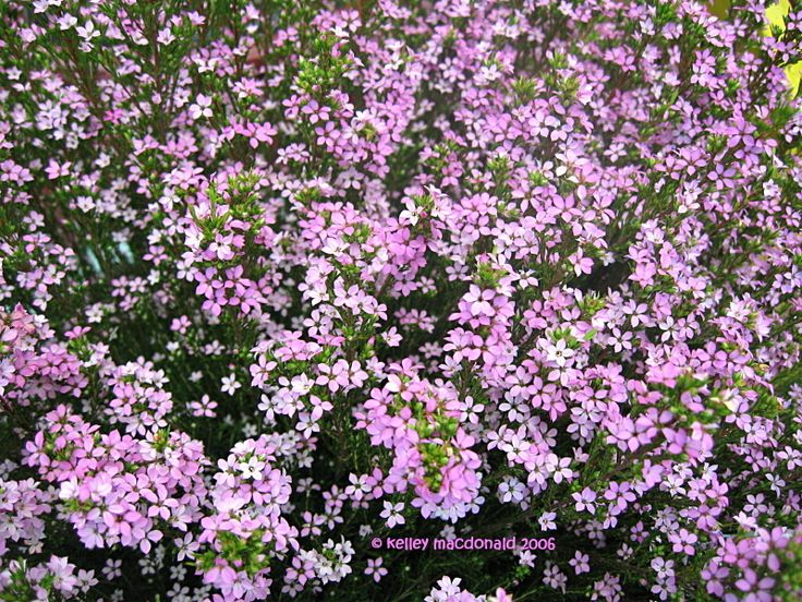 Pink breath of heaven evergreen heavens and large plants for Large flowering shrubs