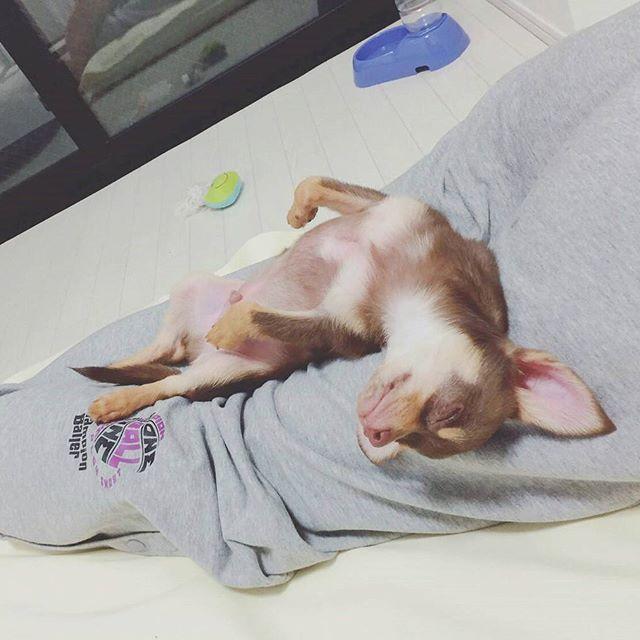 * パパの足は僕のもの🙆🍓 誰にも渡さないよ * * #犬#Chihuahua#dog #愛犬#わんこなしでは生きていけません会 #dogstagram#溺愛 #わんこ部#スムースチワワ#スムチー#トイプードル#親バカ #多頭飼い#ilovemydog#犬好きな人と繋がりたい#犬バカ部#犬のいる暮らし#ふわもこ部 #チワワ部#トイプードル部#チョコタン#チョコマール #甘えん坊#パピー犬#ミックス犬#イケメン犬#王子