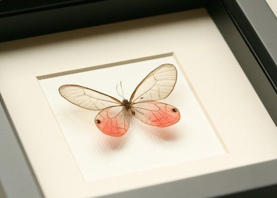 Real Framed Butterfly Display Pink Glasswing by BugUnderGlass, $45.00
