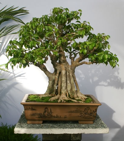japanese bonsai essay Pioneer valley bonsai society, agawam, massachusetts 478 likes during his almost eight-year apprenticeship matt had the opportunity to work on some of the best bonsai in japan the photo essay doesn't describe the work in depth.