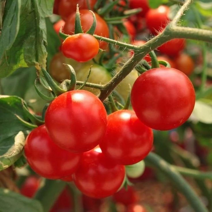 Четыре рецепта подкормки помидоров на весь сезон !!! | Дачный сад и огород