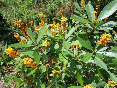 arbustos frutiferos - Pesquisa Google murici