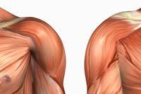 front deltoid, front delts, front of the shoulder, anterior shoulder muscle, upper body, deltoids, shoulders Muscle Anatomy