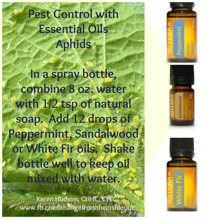 Using essential oils to repell pests not only does not harm them, we don't get hurt in the process. No chemical, just pure essential oils. www.fb.com/changefromtheinsideout #pestcontrol #aphids #doterraessentialoils #peppermint #sandalwood #whitefir
