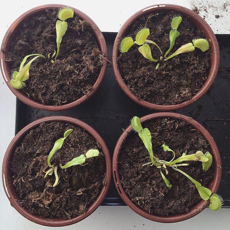 Теперь их 4!  Рассадил тут свою мухоловку  Теперь у Грута появились братья Винсент Люцифер и один пока безымянный. Растите малыши   #мухоловка #venusflytrap #flytrap #hazio #groot #vincent #fly by abcgrapher
