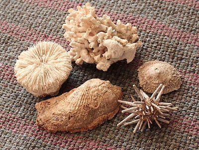 5 Natural Lace Coral Turky Wing Shell Sea Urchin Mushroom Coral Cellana Ornat | eBay