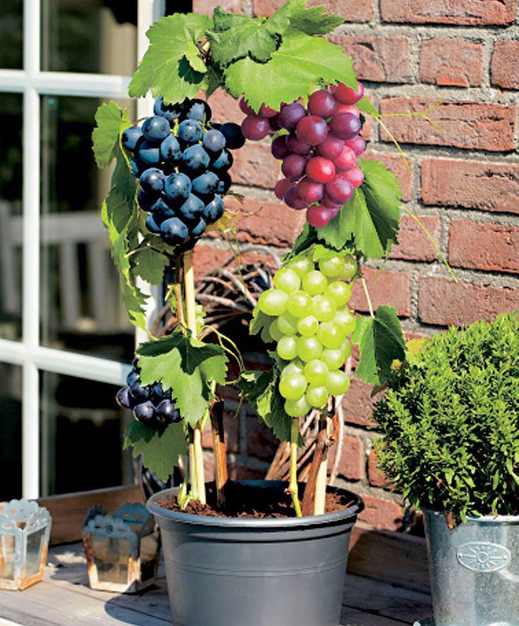 'Pinot Blanc' + 'Marechal Foch' + 'Kalina'