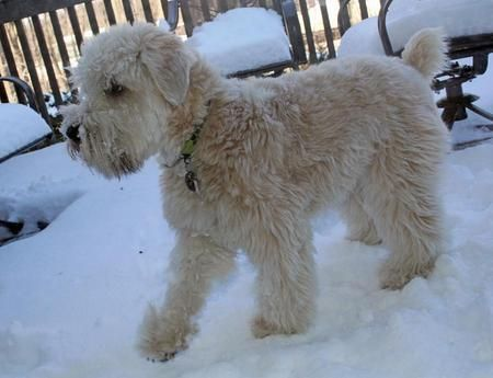 soft coated wheaten terrier shedding 21 best images about soft coated wheaten terrier on 5238