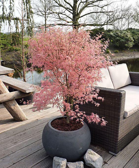 Pin Von Kathrin Wagner Auf Pflanzen: Japanischer Fächerahorn 'Taylor®'