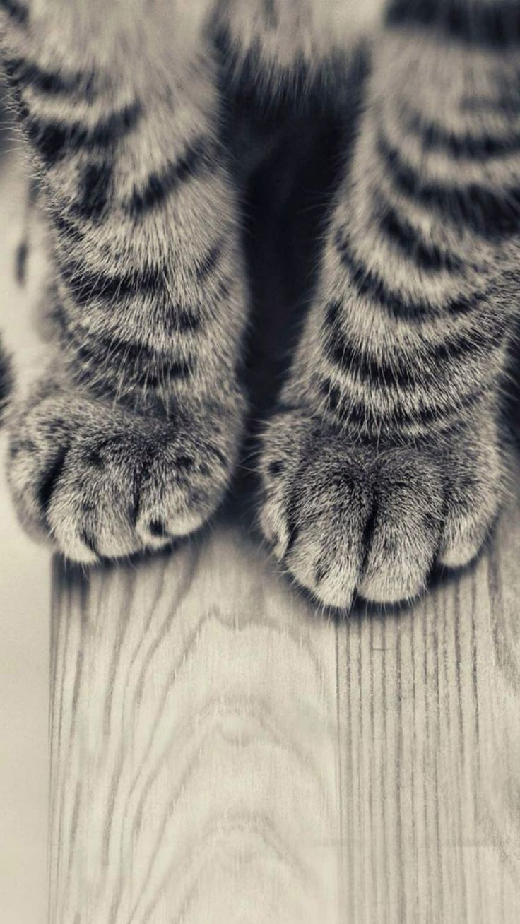 Animals iPhone 6 Plus Wallpapers Striped Kitten Legs
