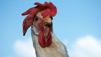 Par Hubert Brochard – Élever des poules derrière sa maison de campagne, pour avoir des œufs frais, ce n'est pas compliqué. La condition est de respecter les règles de base afin de protéger ses volailles et, par la même occasion, toute l'industrie avicole québécoise. Pour un survol de ce petit élevage, quelques producteurs amateurs ont …