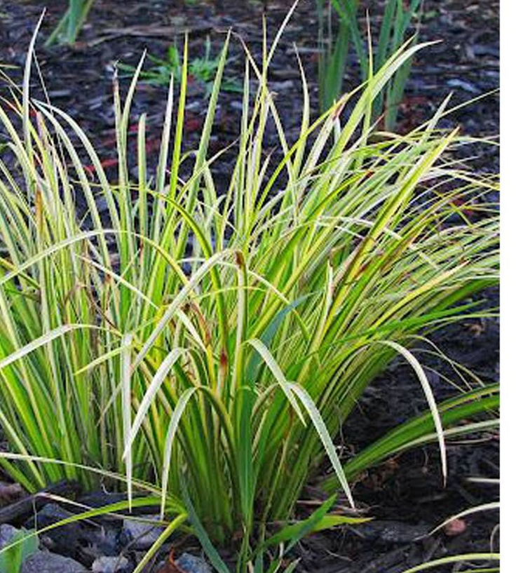 17 best images about go bold with ornamental grasses on for Yellow ornamental grass
