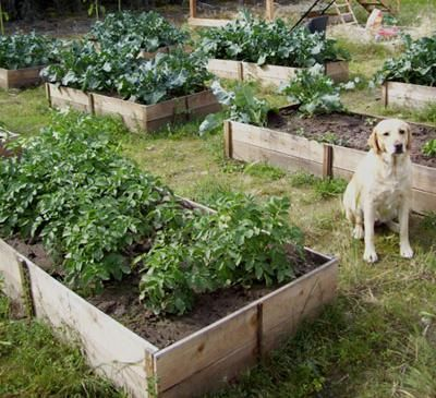 $10 cedar raised garden beds. I'll take the yellow lab, too.: Cedar Fence, Gardens Boxes, Raised Beds, Raised Gardens Beds, Cedar Rai, 10 Cedar, Planters Boxes, Ana White, Diy Projects