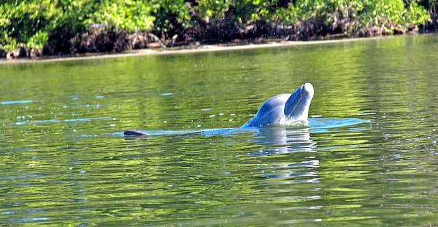 Bottlenose Dolphin Popping Out of the Water. Common Bottlenose Dolphin - Cool and Interesting Facts for Kids