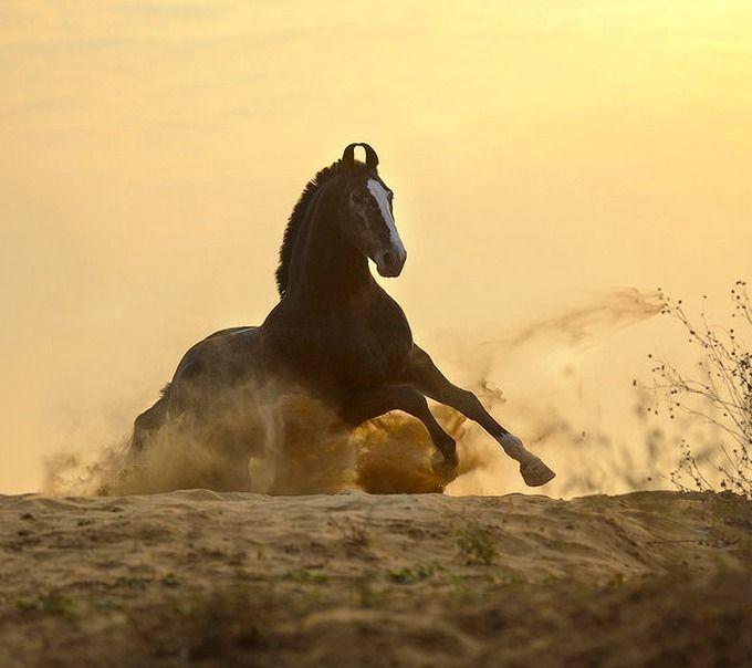 Marwari stallion, Savalak. photo: Ekaterina Druz.