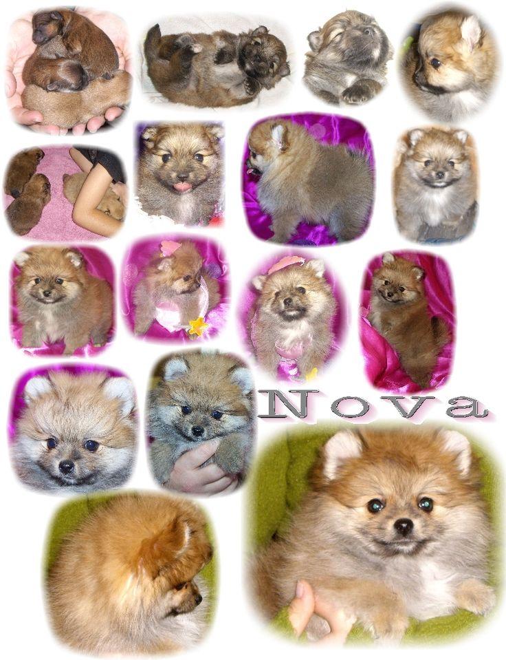 Pomeranian Color Changes