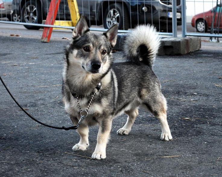 Swedish Vallhund. It's like a wolf-corgi!! Used for herding animals.