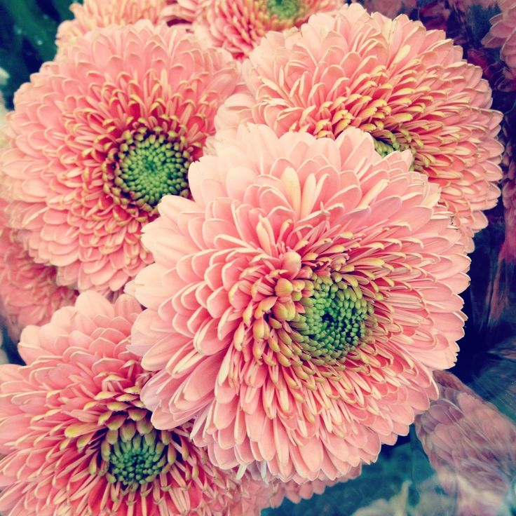 Double petal gerbera daisies ... wish they had these at my local greenhouses ...