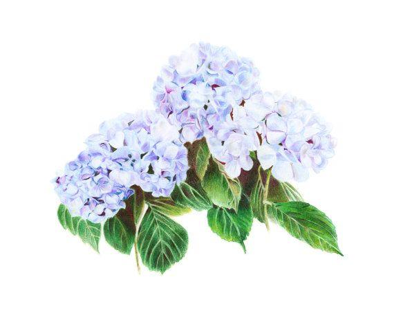 Blue Hydrangea drawing by Marta Jeanette #hydrangeadrawing #hydrangeaflower #blueflowers #hydrangea
