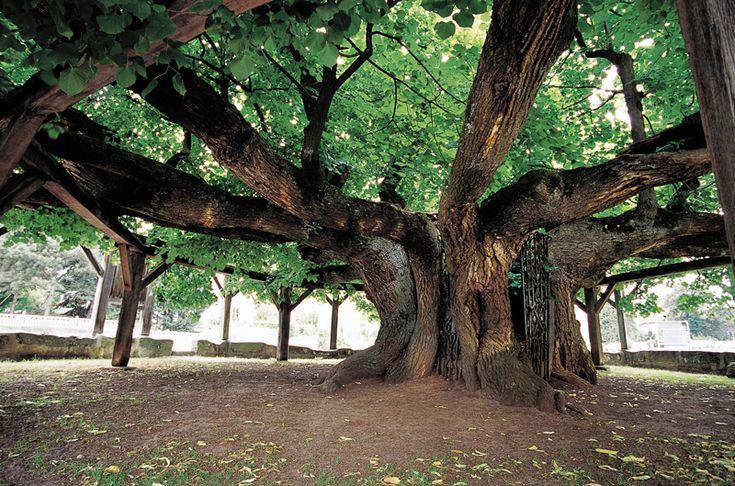 Gartenzauber | Deutschlands alte Bäume - Gartenzauber
